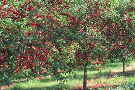 1 cherry tree brandesburton organic heirloom tart cherry tree early richmond type 30 seeds ebay