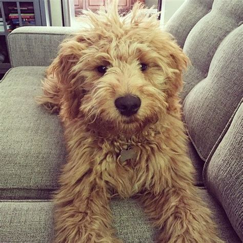 mini doodle the 25 best ideas about mini goldendoodle on