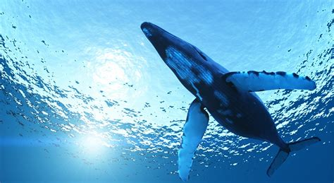 Who Sings For Blues How Blue Whales Became Ingredients In - how does a blue whale move national geographic