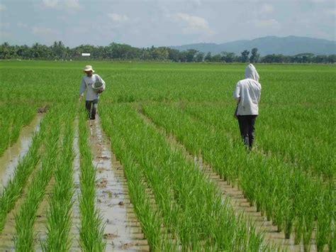 wong tani rumus pemupukan  p   tanaman padi