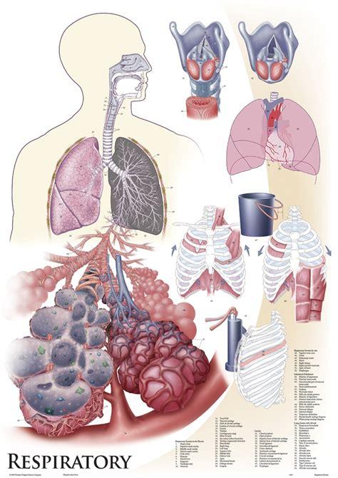 oversize anatomy  physiology chart set