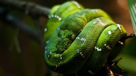 wallpaper python singapore zoo emerald green snake eyes close  animals
