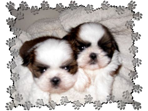 shih tzu puppies for sale in ky debado s shih tzu shih tzu puppies for sale nc