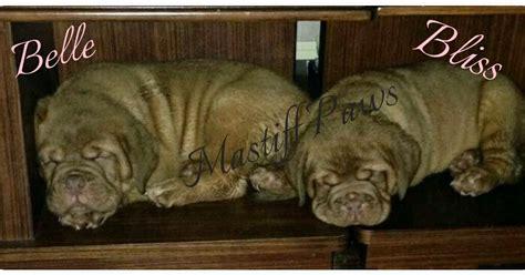 mastiff puppies for sale mn mastiff paws mastiff puppies for sale houston tx