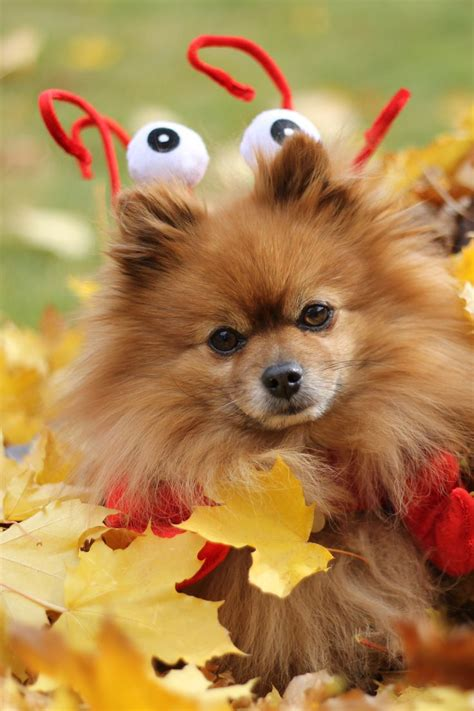 pomeranians heaven 17 best images about spitz type dogs on shiba inu puppies samoyed and pet