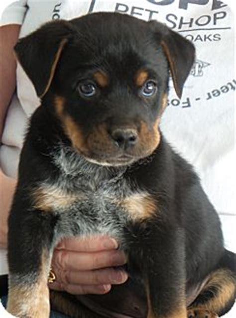 rottweiler bernese mix bernese mountain rottweiler mix puppy for adoption in thousand oaks california
