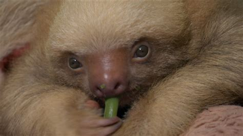 Nature S Miracle Babies Baby Sloth