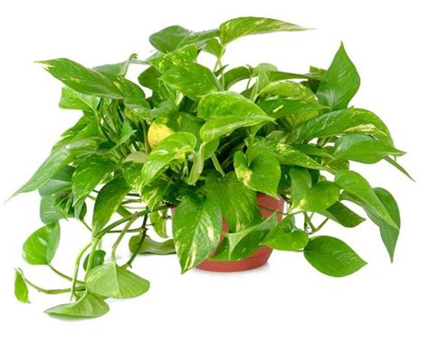 epipremnum aureum epipremnum aureum pothos vegetation interior