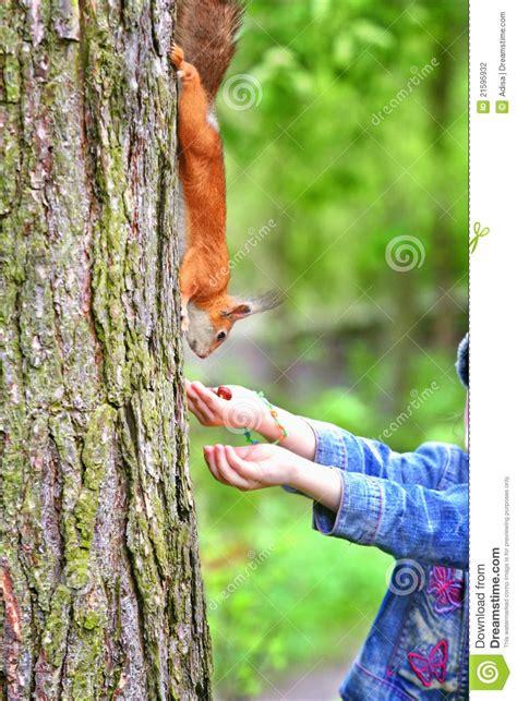 scoiattolo alimentazione scoiattolo d alimentazione fotografia stock immagine di