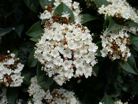 Viburnum Shrub How To Care For Viburnum Garden Bushes With Flowers