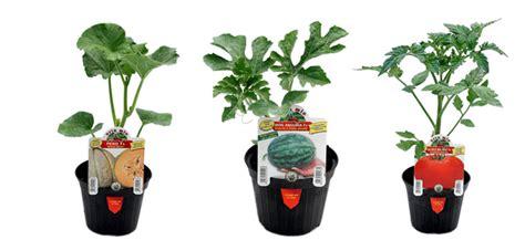 seminare pomodori in vaso guida per coltivare orto