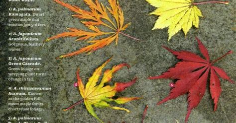 different types of japanese maples trees life