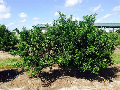 scion and rootstock citrus scion rootstock combinations show tolerance to