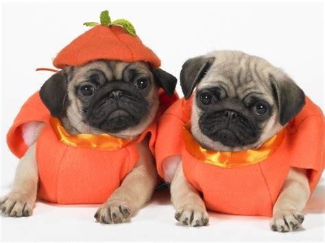 pug pumpkin pumpkin pugs pets
