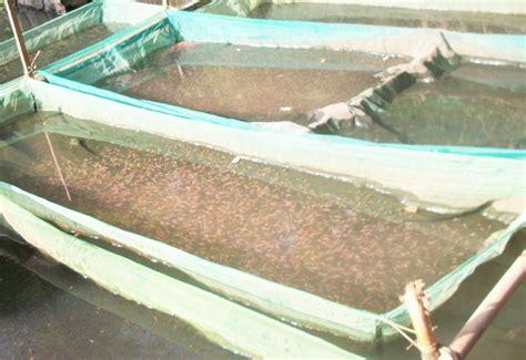 Pakan Larva Ikan Nila 12 tahap mudah dan lengkap cara pemijahan dan pembenihan
