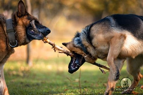 how to your not to jump how to your german shepherd not to jump photo