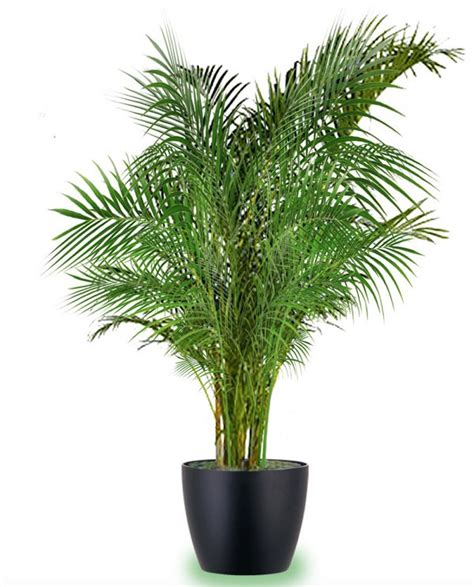 areca palm 18 best large indoor plants tall houseplants for home