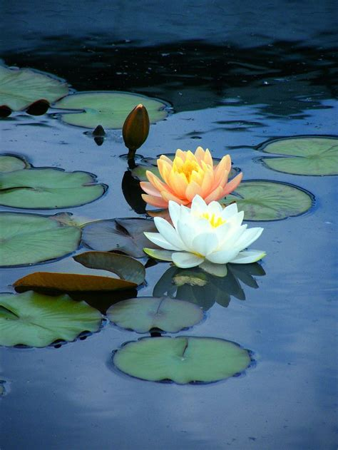 25 best ideas about water lilies on pinterest lily pond