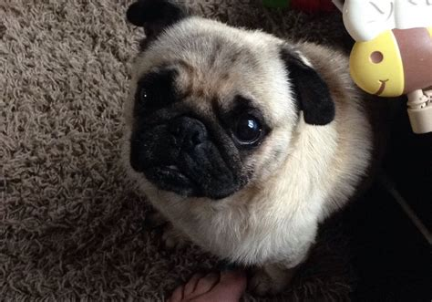 pug no lovely pug no papers as lost crediton pets4homes