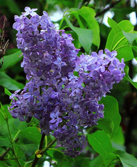 lilacs bush photo