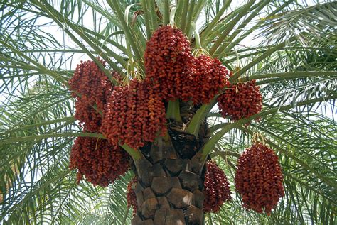 Pohon Pohonan Palm Palem 7cm kolibri kert 233 szet datolyap 225 lma