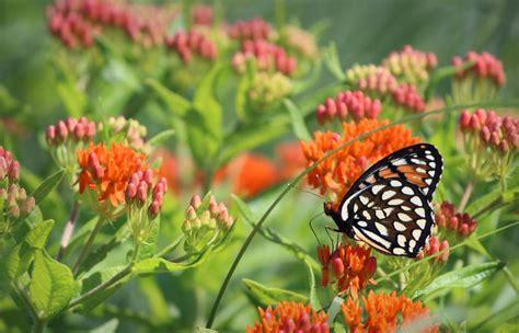 vermont garden journal butterfly weed the perennial