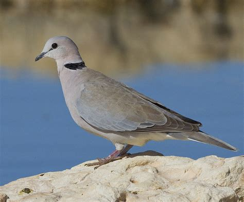 paris ring necked dove