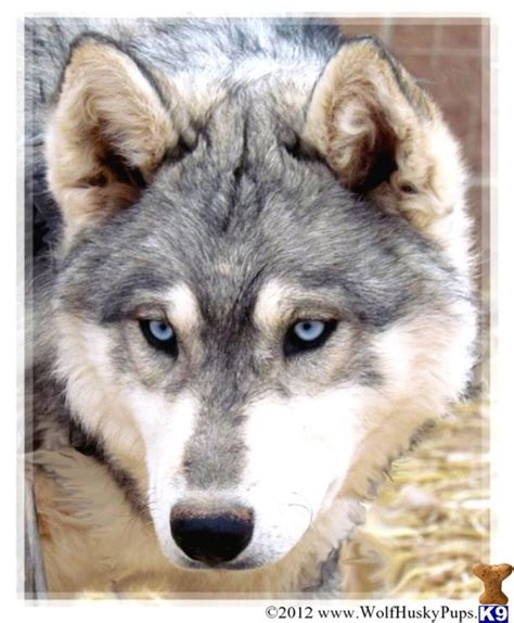 buy wolf puppies wolf puppies for sale in california