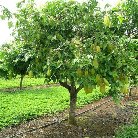 polynesian produce stand - Carambola Fruit Tree