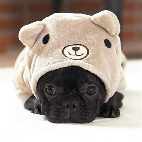 pug costumes for sale 25 best ideas about bulldog on bulldog puppies