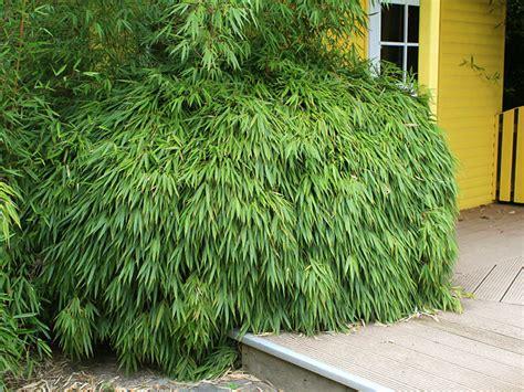 bambus hecke schneiden fargesia kaufen im bambus shop bambushecken de
