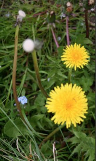 Dandelion Detox For Liver by Acupuncture Herbs Notting Hill Gate