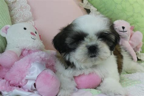 shih tzu puppies for adoption in nj nj shih tzu rescue assistedlivingcares