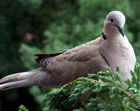 eurasian collared dove songs and calls larkwire
