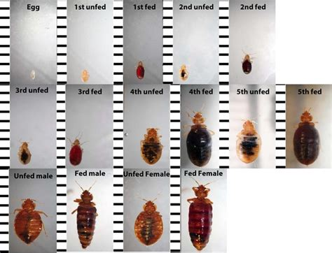 bed bug identification 17 best ideas about bed bug remedies on pinterest bed