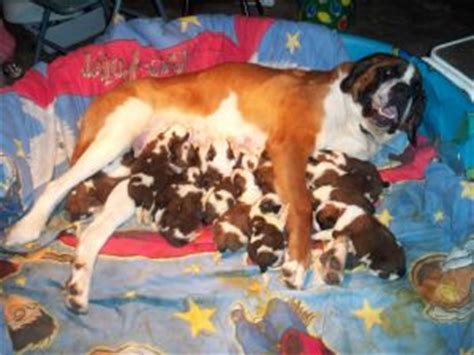 st bernard puppies for sale in michigan bernard puppies for sale