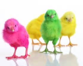 colored chickens i loved colored baby easter easter