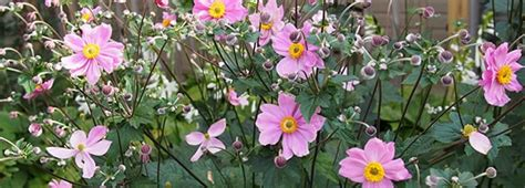 garden resources and trends fall blooming perennials meadows farms fall resources excellent fall perennials