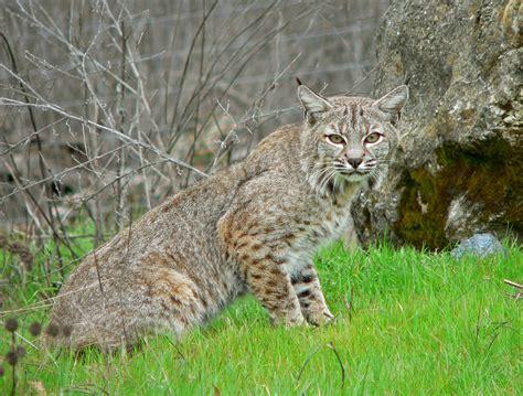 File:Bobcat2.jpg - Wikipedia