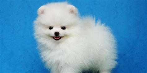 white and pomeranian white pomeranian pomsky pals