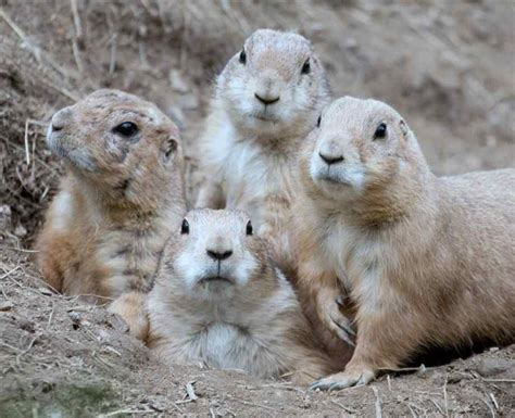 pictures of prairie dogs 25 best ideas about prairie dogs on smiling animals bears and
