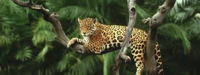 Photo Of A Jaguar Jaguar Species Wwf