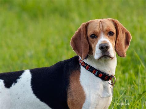 leishmaniasis in dogs leishmaniasis in dogs