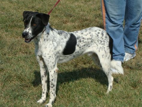 pointer mix bailey located in owensboro ky was euthanized on oct 22 2010