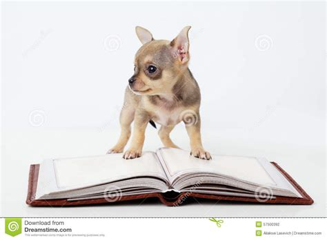 cutest puppies book puppy chihuahua reading book stock photo image of happy read 57500392
