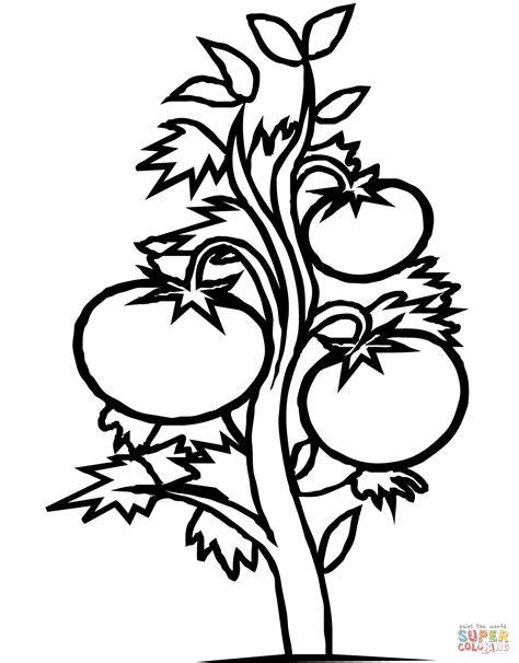 plant coloring pages tomato plant coloring page free printable coloring pages