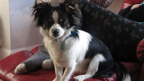 papillon chihuahua mix puppies for sale papillon chihuahua cross luton bedfordshire pets4homes