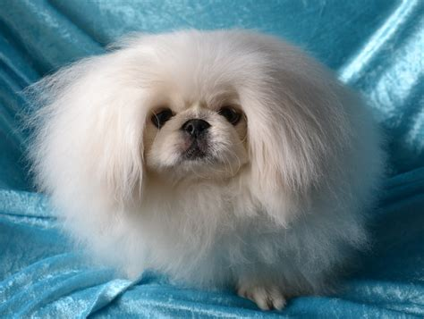 pekingese puppies beautiful pekingese photo and wallpaper beautiful beautiful pekingese pictures