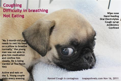 pug cough remedy 0829asingapore veterinary education stories pomeranian single pup caesarian