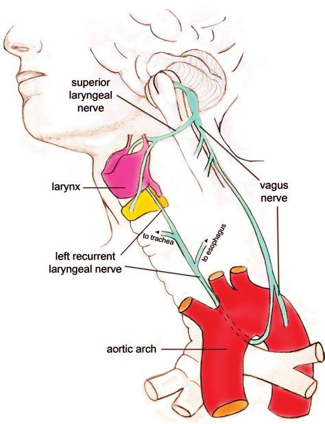 diagram of the vagus nerve recurrent laryngeal nerve design creation